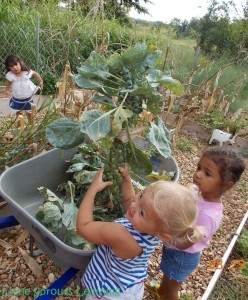 harvesting brussels sprouts with kids