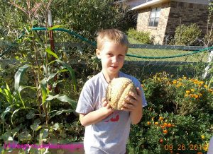 harvesting cantaloupe