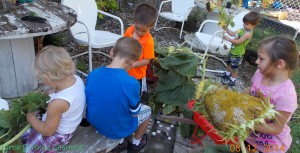 harvesting sunflowers with kids