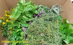 herbs gardening with kids
