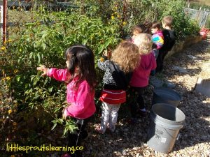 picking tomatoes with kids