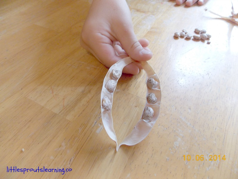 Saving your own pinto bean seeds