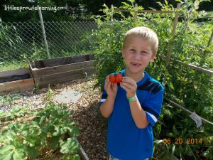 gardening with kids tomatoes