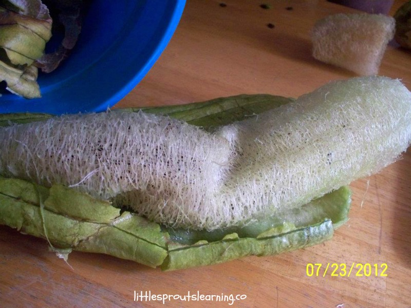 luffa coming out of the skin