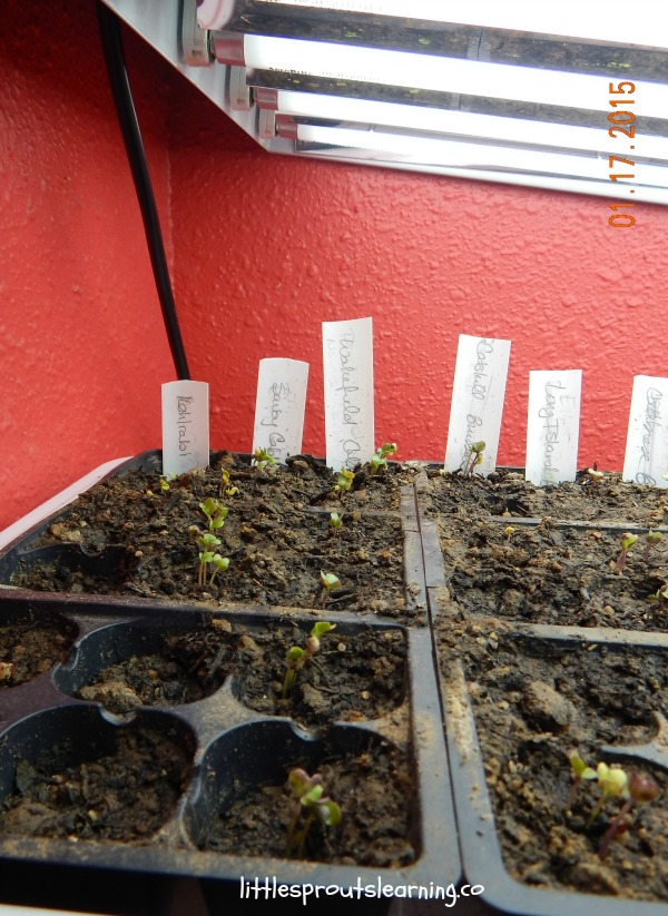 seedlings, planting seeds with very young kids