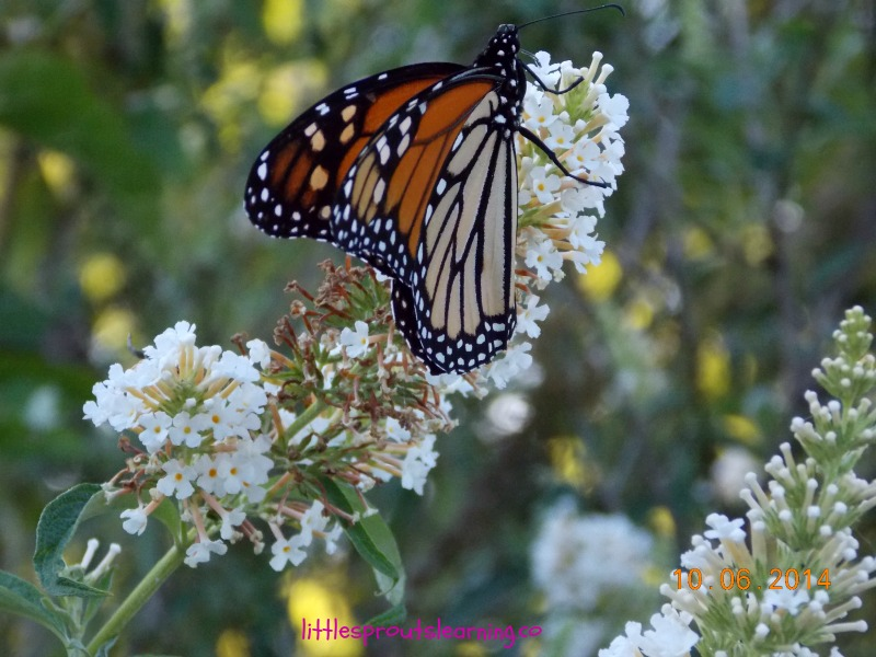 amazing monarch