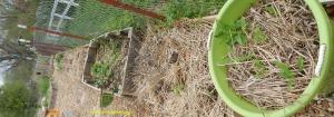 jerusalem artichokes in the children's garden