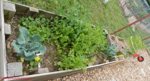 may gardens, broccoli, peas, cilantro, flowers, jerusalem artichokes
