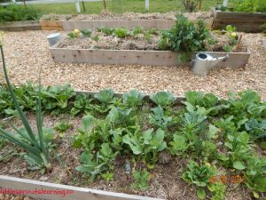 may gardens, cool season crops, broccoli, spinach, onions, cabbage, kale, brussel sprouts, chinese cabbage, bok choy, cauliflower