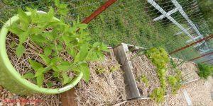 may gardens, jerusalem artichokes, ginger, lettuce, onions