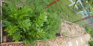 may gardens, lovage, carrots, broccoli, flowers,