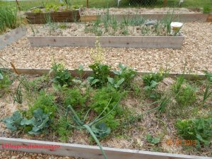 may gardens, onions, cauliflower, carrots, radishes