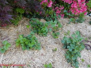 may gardens, strawberry bed
