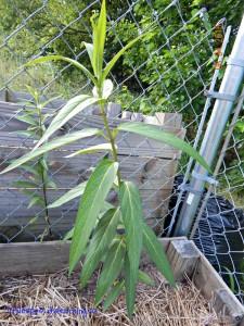 milkweed, wildlife habitat