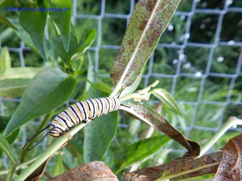 monarch caterpillar, wildlife habitat in preschool garden