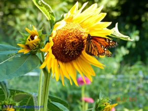 monarch, wildlife habitat
