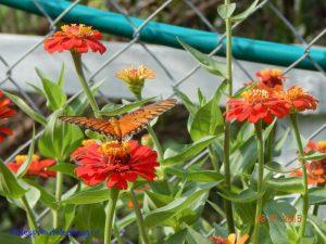 wildlife habitat, butterfly on zinnias