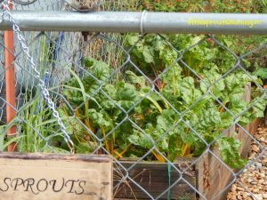 growing swiss chard with kids