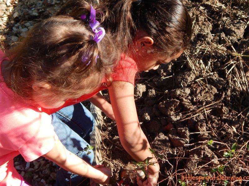 kids harvesting sweet potatoes