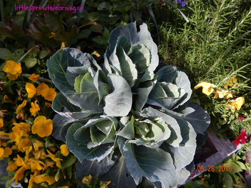 baby cabbages, garden wow, I Bet You Didn't Know THESE Garden Wows!