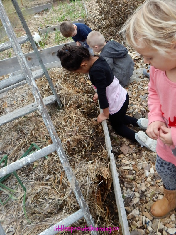planting wheat with kids