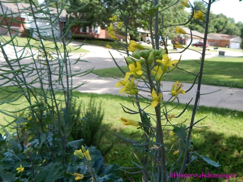 garden wow, kale blossoms