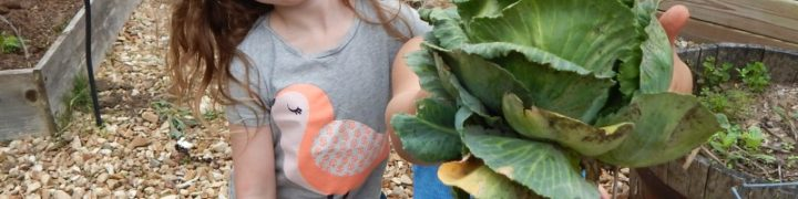 Growing and using cabbages
