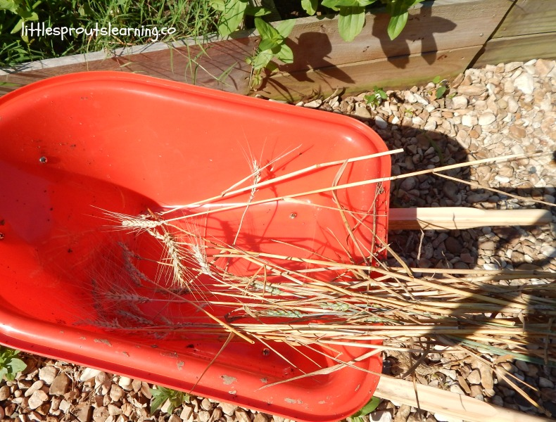 wheelbarrow of harvested wheat, teaching kids where bread comes from, growing your own food.