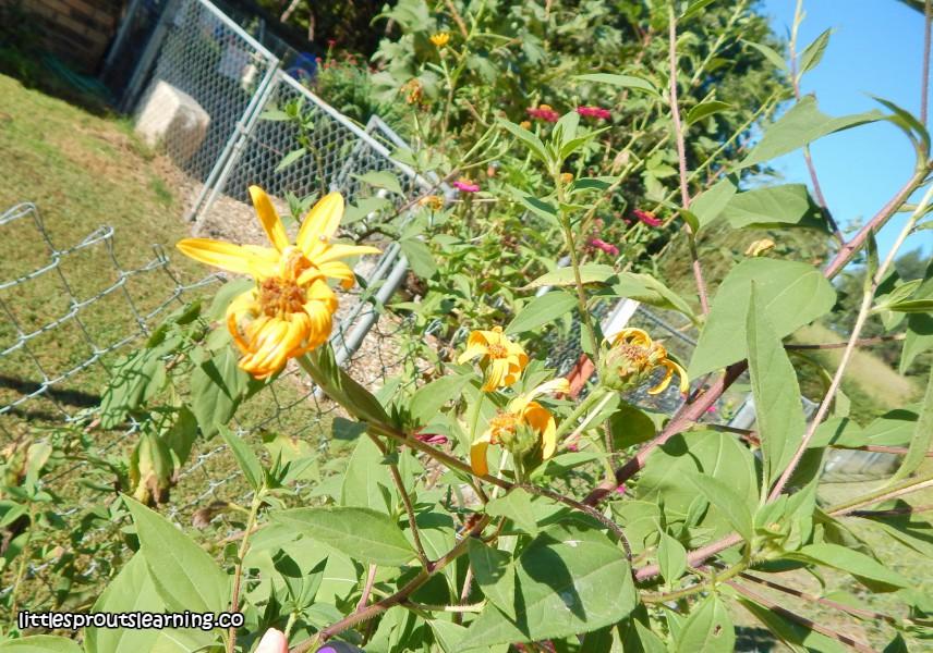 jerusalem-artichoke-plant
