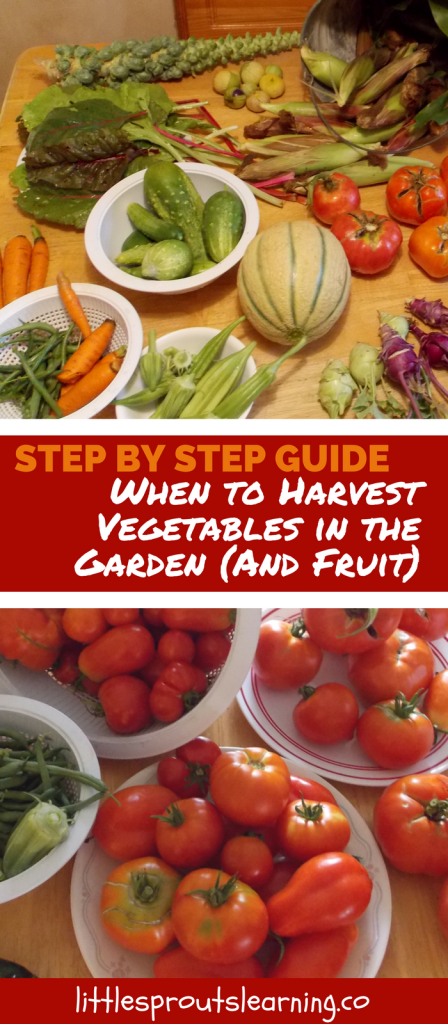 Step by Step Guide to When to Harvest Vegetables in the Garden (And Fruit)