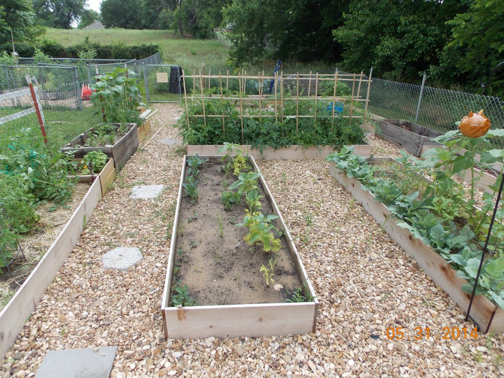 children's garden with raised beds growing food surrounded by gravel mulch in between the beds.