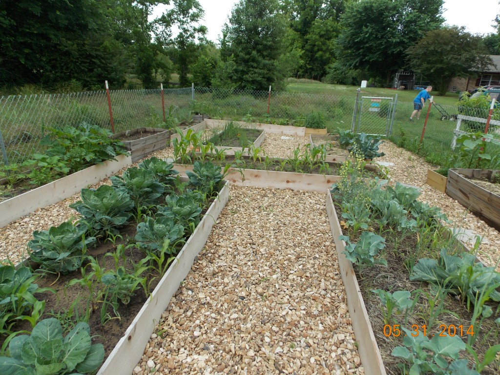 Raised beds in the preschool garden with cabbage, kale and corn growing