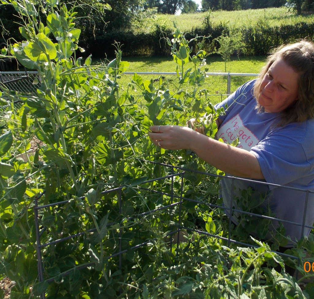 woman picking peas in successful vegetable garden with no gardening skills