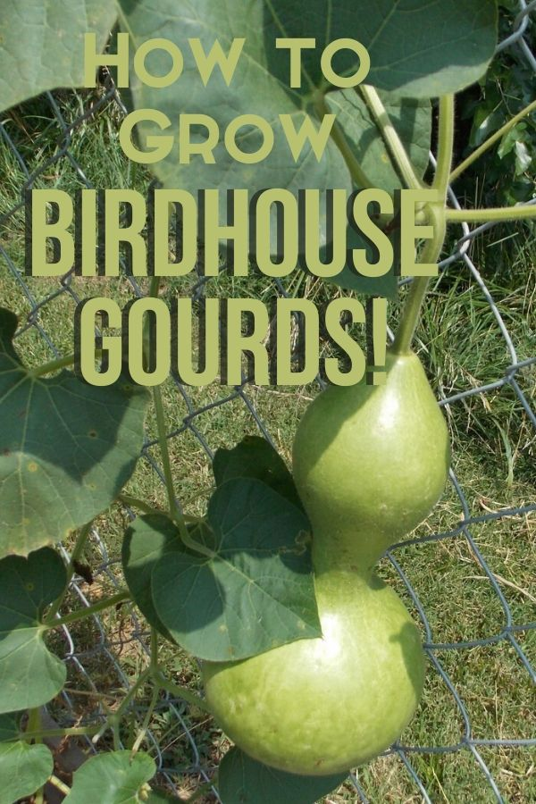 It's easy to grow birdhouse gourds and make your own birdhouses from them. All you need is a little patch of dirt and some birdhouse gourd seeds.