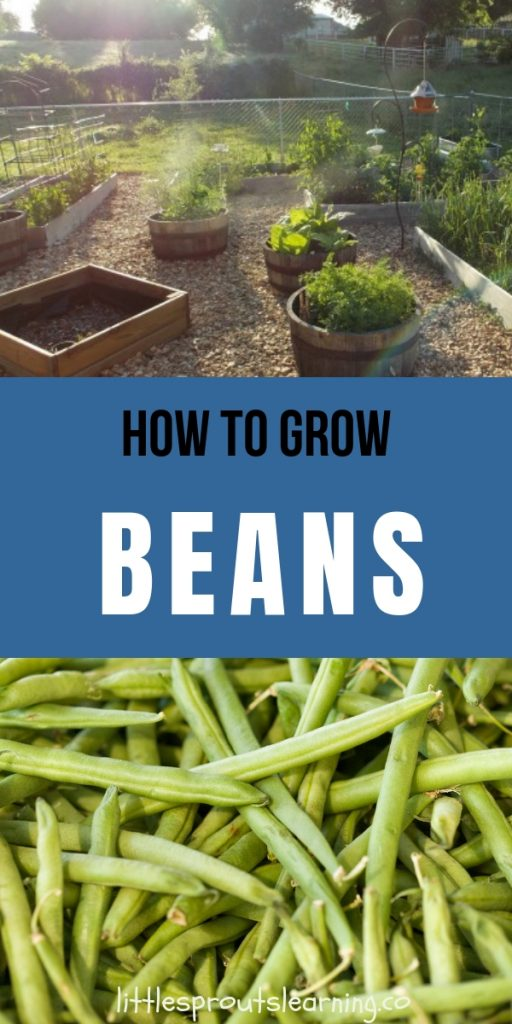 Beans are a great garden crop and can be picked young as green beans or left to fully mature and used as dried beans like pinto beans.