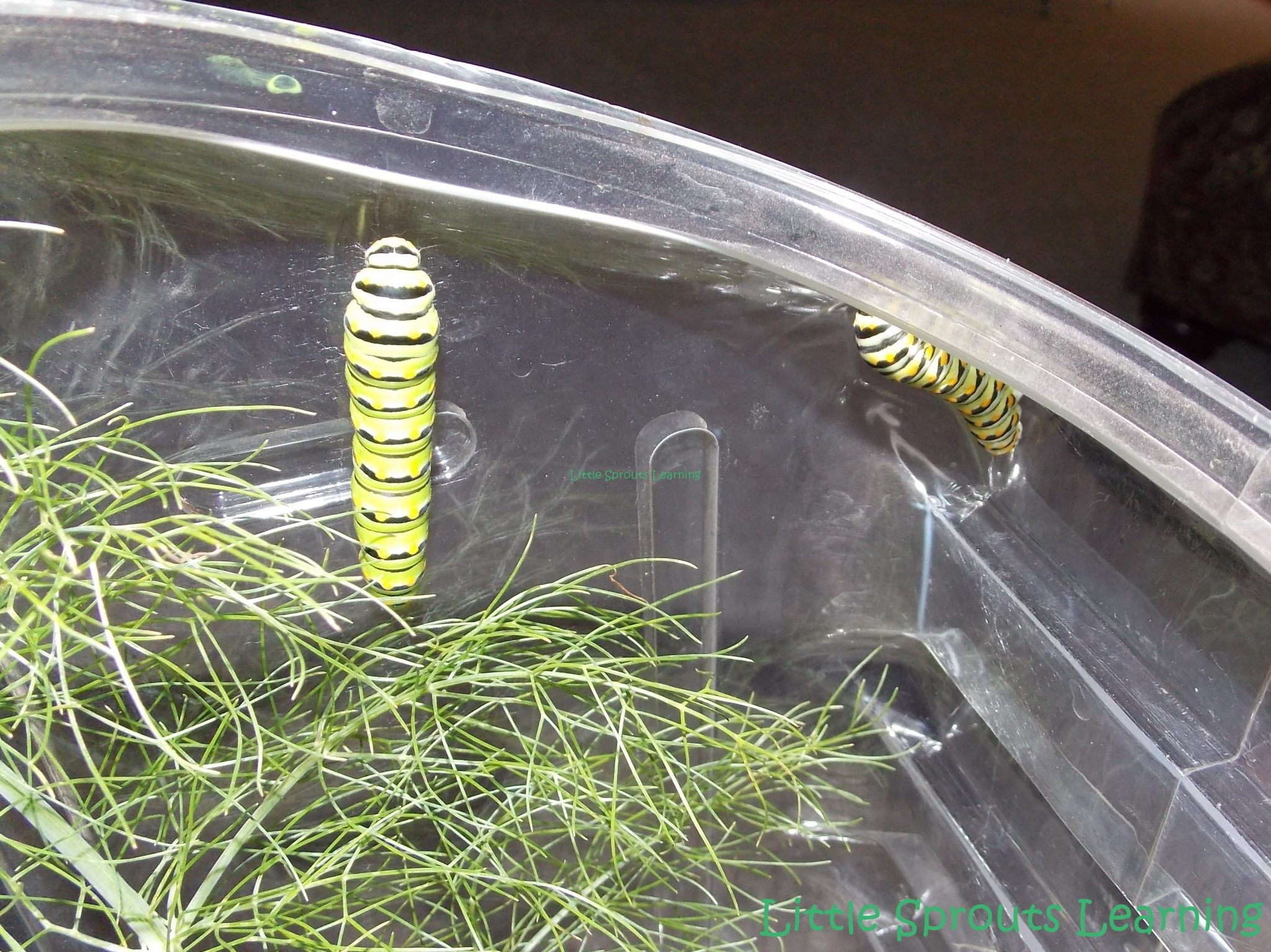 clear plastic box wtih black swallowtail caterpillars and fennel to feed them for life cycle study of butterflies