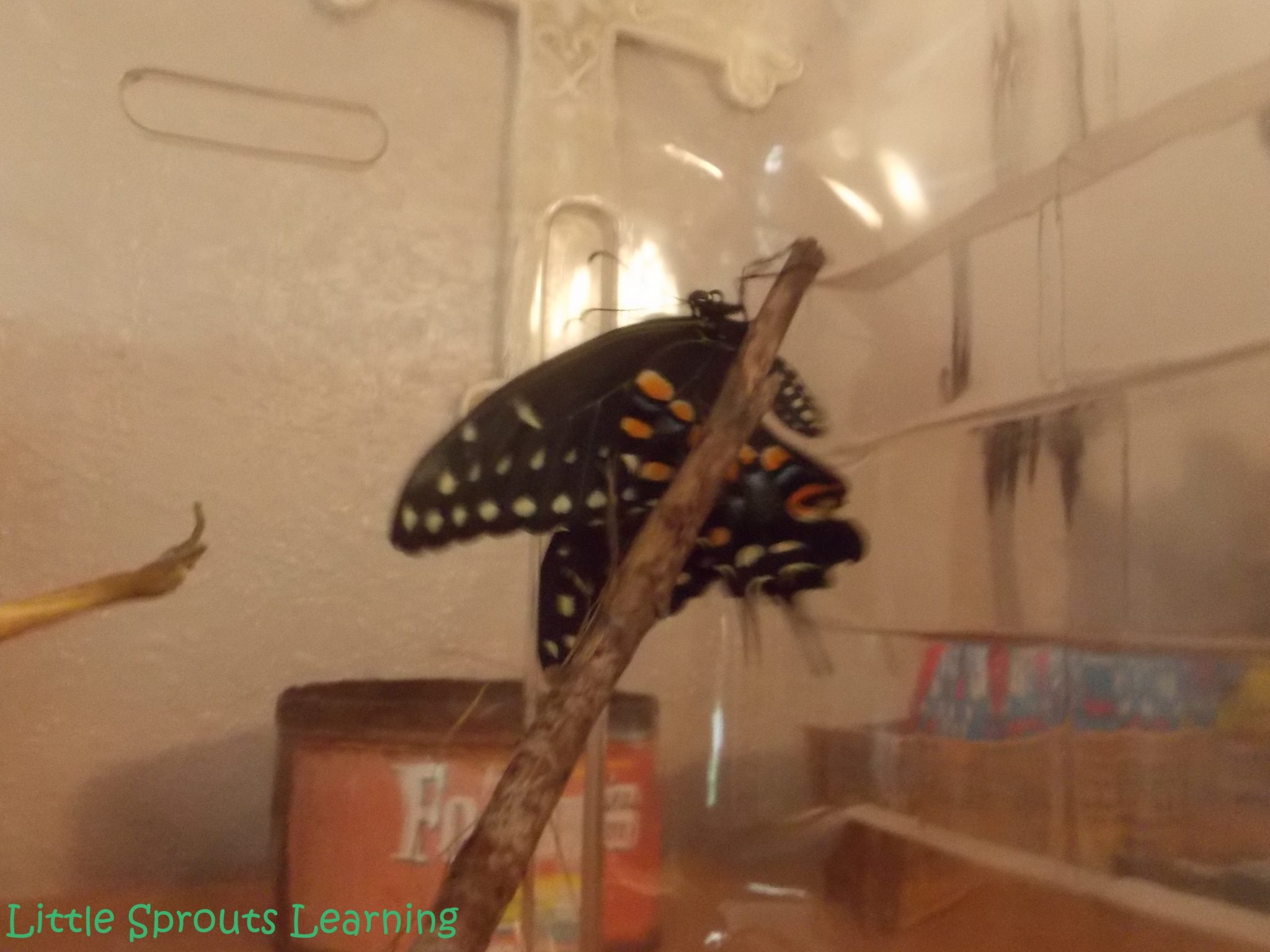 Butterfly Life Cycle Study for Kids, black swallowtail butterfly just emerged and drying on a stick