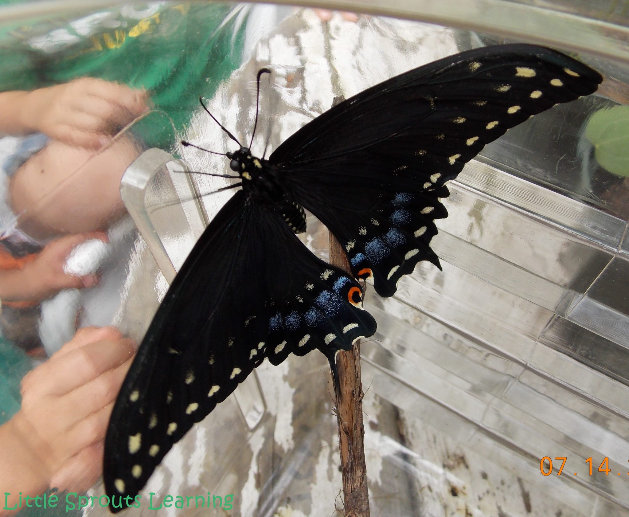 Butterfly Life Cycle Study for Kids, black swallowtail butterfly dried and ready to fly, sitting on a stick in the plastic observation box.
