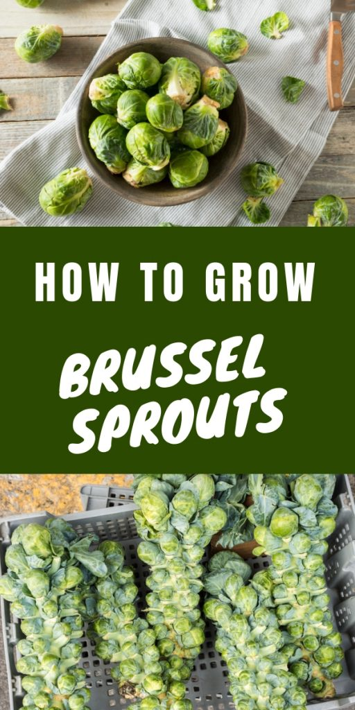 Ever wondered how hard it would be to grow brussel sprouts? They look so cool on the stalks and are so yummy. Nothing beats homegrown brussel sprouts.