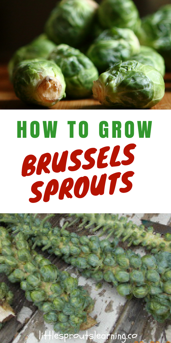 rhs how to grow brussel sprouts