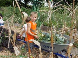 kids harvesting cabbage