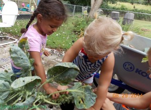 picking brussel sprouts with kids