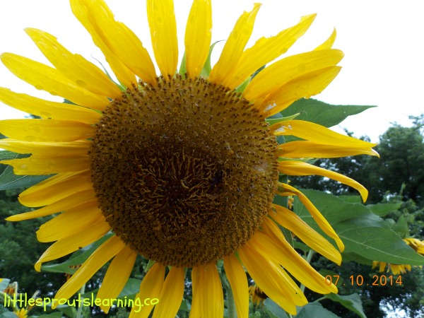 Why not grow sunflowers with kids? Sunflowers are gorgeous, draw pollinators, look gorgeous, make food for birds, and are edible.