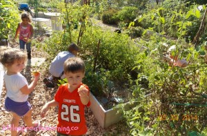 kids harvesting tomatoes
