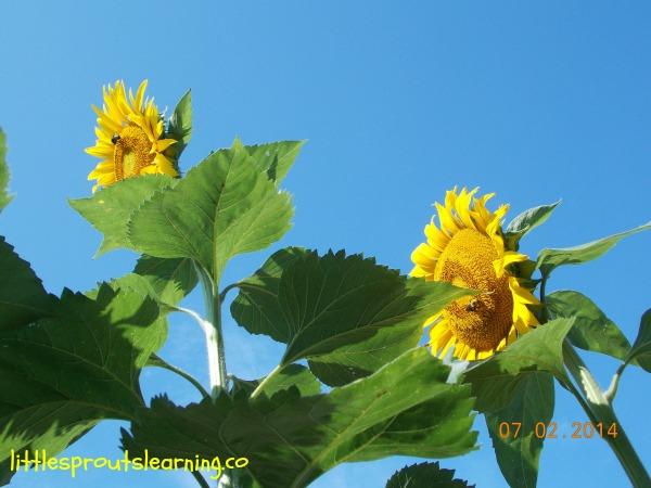 super tall sunflower