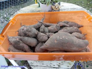73 pounds of sweet potatoes