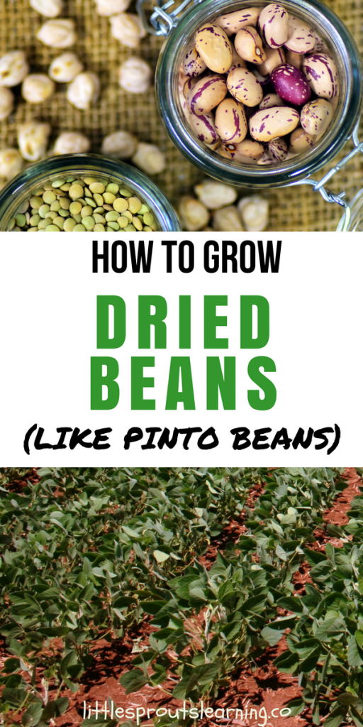 How To Grow Pinto Beans And Other Dried Beans