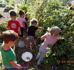 harvesting tomatoes with kids
