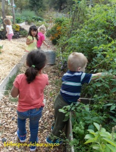harvesting veggies with kids