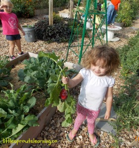 picking radishes with kids